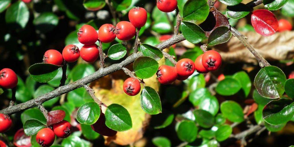 Zuurbes is een natuurlijke bron van berberine