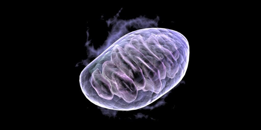 Berberine activeert de AMPK die de productie van nieuwe mitochondria in gang zet