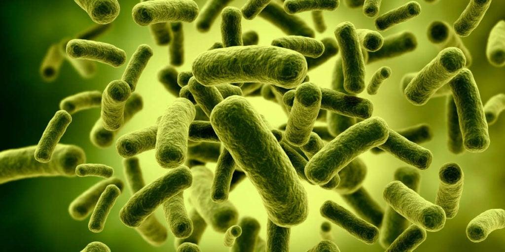 lactobacillus bacteriën