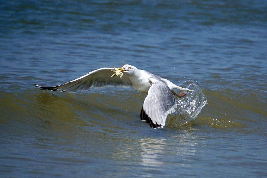 Vogel vangt een krab